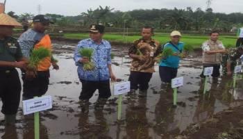 Gelar Tanam Padi Awal Tahun, Petani Namang Gunakan Bibit Organik