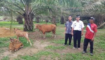 Pemdes Cambai Selatan Serius Kembangkan Peternakan Sapi Desa